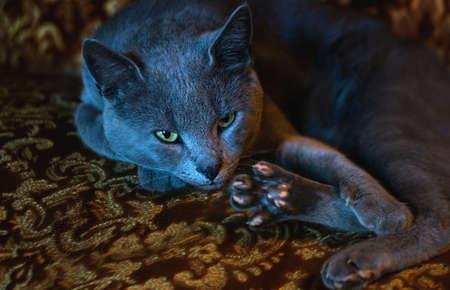 true bred: Portrait of lying russian blue cat on a sofa