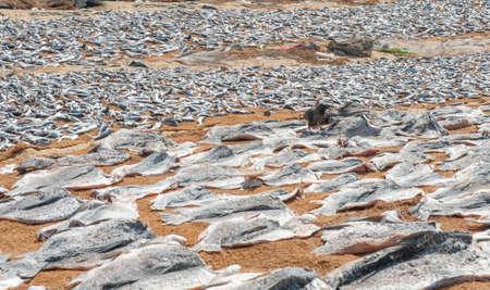 Fish drying on the beach and crow on it. Sri Lanka.