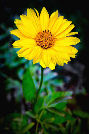 Dichtbijzicht van Arnica bloembloem