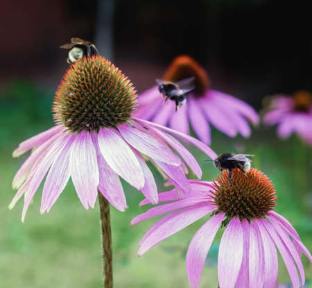 Echinacea. A genus, or group of herbaceous flowering plants in the daisy family. Close up.