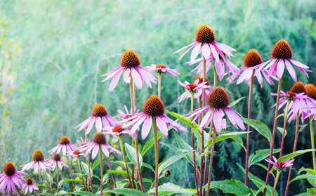 Echinacea. A genus, or group of herbaceous flowering plants in the daisy family.
