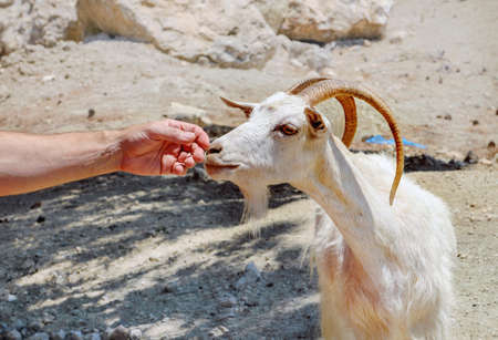Goat and men's hand on sunny day  in Rhodes Island