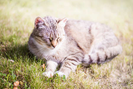 Beautiful tabby cat dreaming on a grass