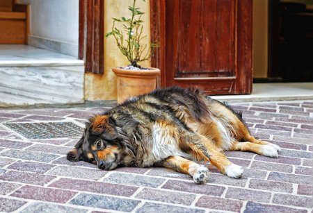 Big dog lying on a pavement on a hot day.