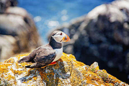 Close view of a  puffin on a rock  on sunny day in Saltee Islands. Ireland.