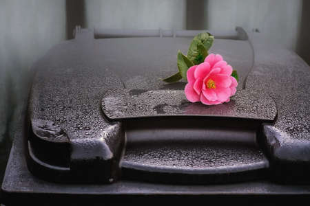 Camellia tree blossom on a  trash container early in the morning. Dew drops on a plastic container. Close view.