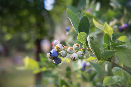 Vaccinium corymbosum, known as highbush blueberry, is native to eastern North America where it typically grows in moist woods, bogs, swamps and low areas. Unripe berries.