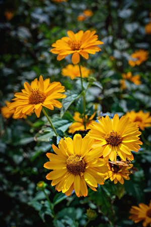Arnica flower blossoms in the garden. Close view. Stock Photo