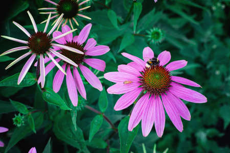 Echinacea with insects. A genus, or group of herbaceous flowering plants in the daisy family. Close up. Stock Photo