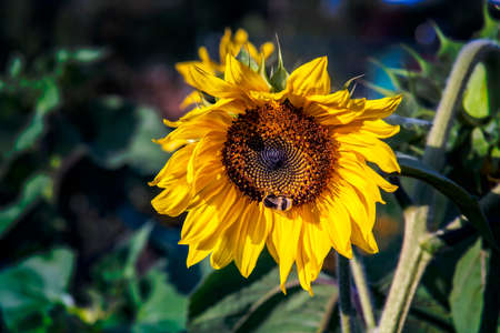 Bee on a sunflower blossom in the evening sunlight. Close up.