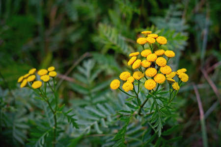 Tansy herb (Tanacetum vulgare) is a perennial, herbaceous flowering plant of the aster family, native to temperate Europe and Asia. It is also known as common tansy, bitter buttons, cow bitter, or golden buttons. Close up.