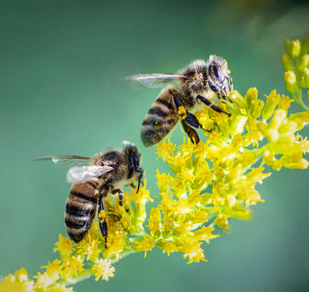 Two bees on yellow goldenrod blossoms in a green background . Macro. Stock Photo