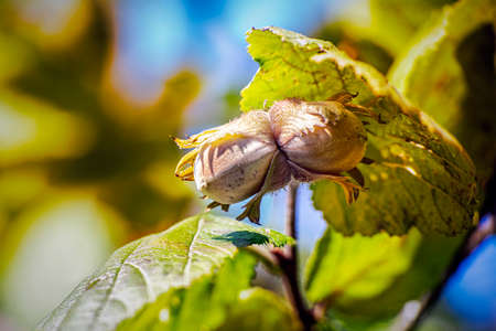 Two riped hazelnuts on a branch in autumn. Close up.