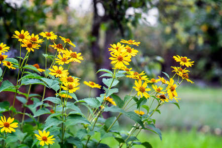 Heliopsis flowers blooming in the garden in summer. Stock Photo