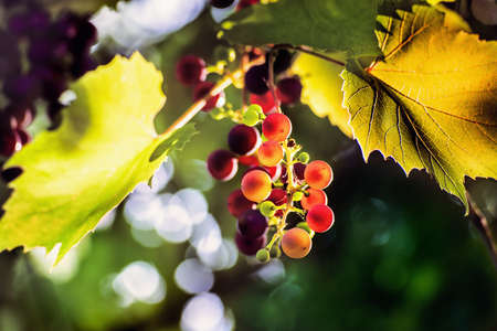 Colorful  branch of grapes in a sunset. Close view. Stock Photo