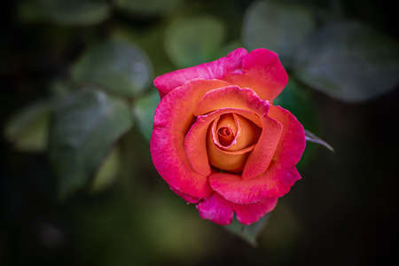 Pink yellow rose blossom. Close up. top view. Stock Photo