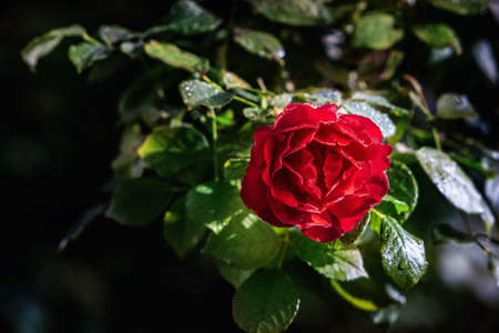 Red rose blossom on a dark background. Close up. Stock Photo