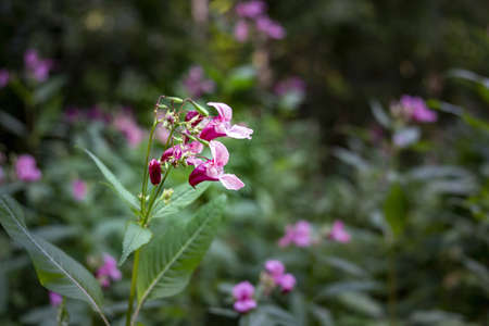 Indian Balsam wildflower in a forest. Close up.