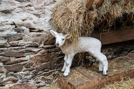 White lambkin in a barn with hay in the manger. Ireland.