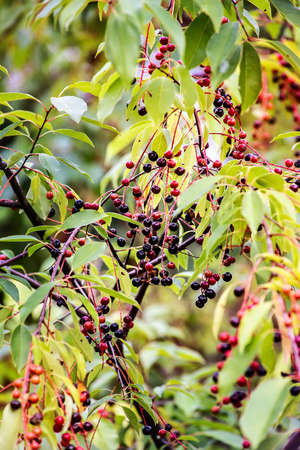Twig of Prunus Serotina or wild cherry with fruits in autumn. Close up. Imagens
