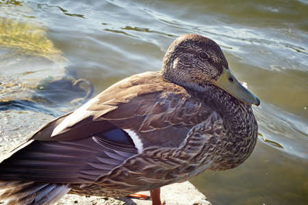 Duck  on shore near the water on sunny day Imagens