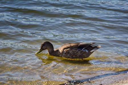 Duck near shore in the water on sunny day