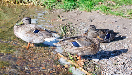 Three ducks on the shore near the water  on sunny day Imagens - 129647425