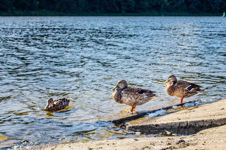Three ducks on the shore near the water  on sunny day