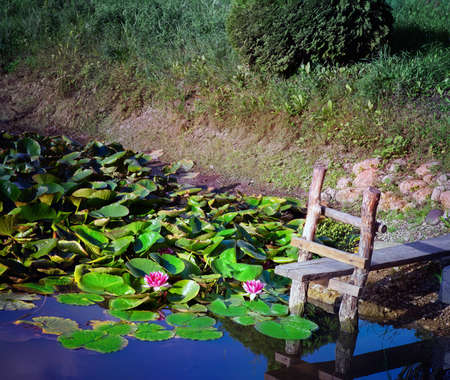 Water lilies (Nymphaea) Xiafei in water pond with small footbridge.