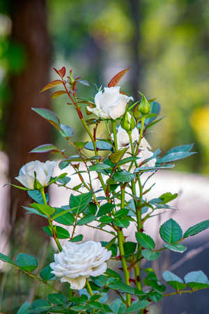 White rose blossoms in a garden. Close view.