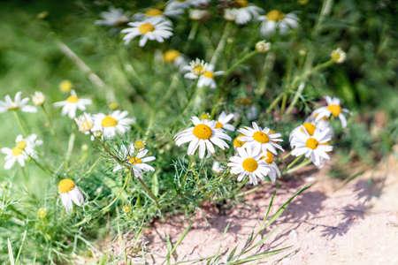 Wild daisy blossoms on a sunny day. Close up. Stock Photo