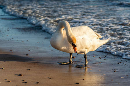 White swan with numbered ring on leg on a seashore in sunset. Close view. Reklamní fotografie