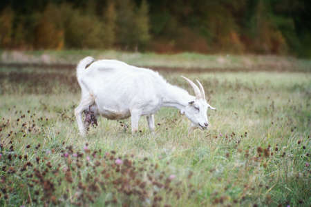 White goat with horns on an autumn  grass.