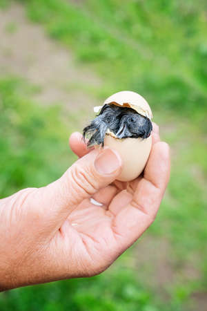 Chick hatching in woman's hand. Close view.