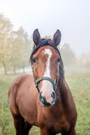 Portait of  horse in an autumn foggy morning.