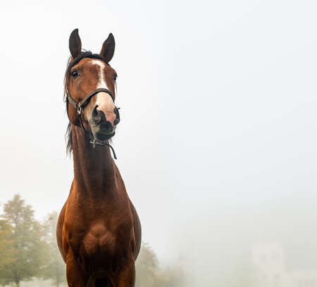 Portait of  horse in an autumn foggy morning with space for  text.