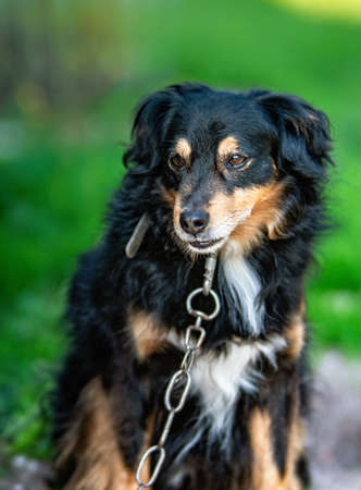 Portrait of a beautiful sitting dog with steel chain on a neck. Imagens