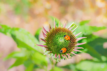 Two ladybirds on an echinacea blossom. Close up.