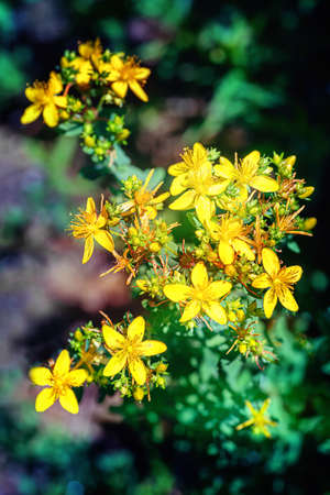 St. johns wort plant with blossoms. Close up. Imagens