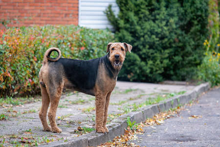 Beautiful airedale terrier on an autumn pavement. Imagens