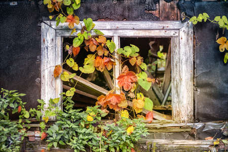 Old ruined house window with plants. Close view. Stok Fotoğraf