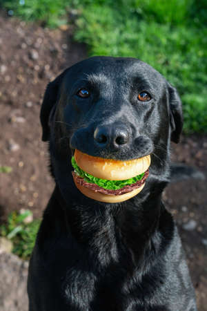 Portrait of a black dog with sandwich in mouth. Close view.