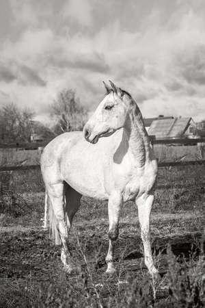 White horse on an autumn grass. Black white.