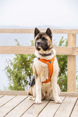 The American Akita is a loyal, alert dog with a strong, muscular body build. The breed is well known for its intelligence, with many being seen performing in obedience trials
