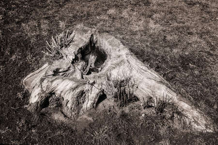 Old tree stump on an autumn grass. Black and white.