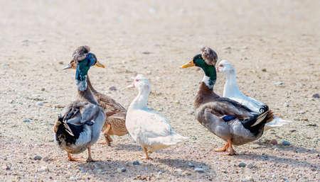 Cinq canards sur un gravier dans la cour de la ferme aux beaux jours.