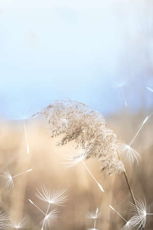 Reed and dandelion fluff on windy day. Close up.