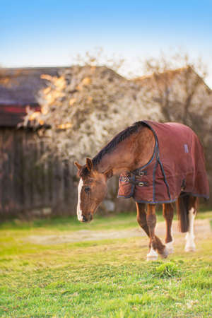 Brown old sick horse with caparison in the farm yard in spring sunset.