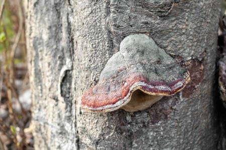 Fungus on old tree stem. Close up. Standard-Bild