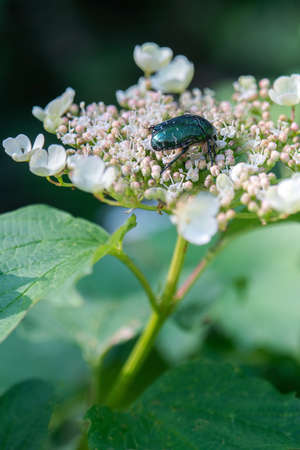 Rose Chafers (Cetonia aurata) are one of our larger and more attractive beetles. The upper surfaces are an iridescent emerald green and bronze colour. The underside is a bronze colour.
